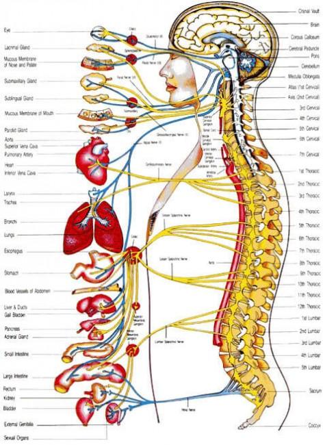 spineNervousSystem