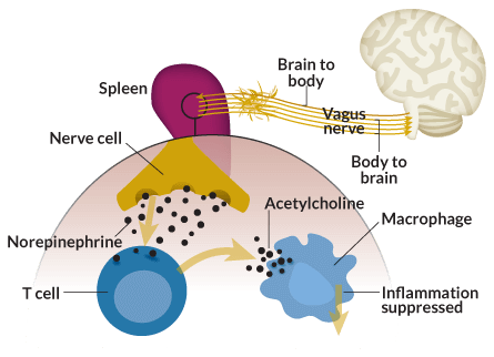 inflammation vagus nerve